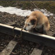 Живодер привязал собаку к рельсам и оставил умирать под поездом