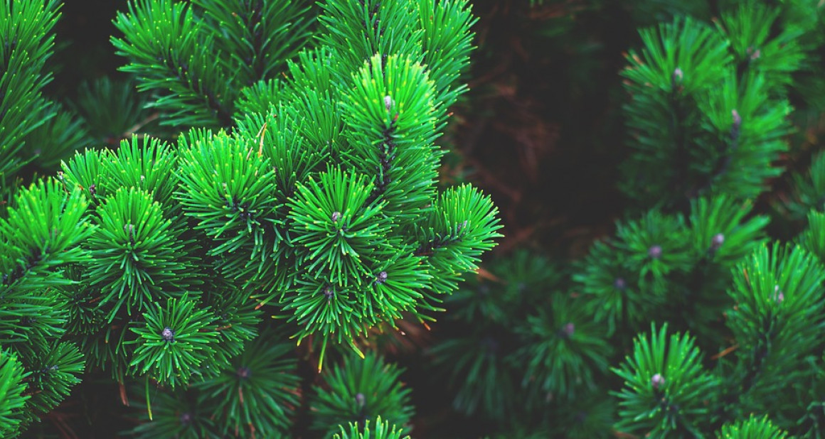 35 000 ульяновских сосен отправились на Новый год в соседние регионы